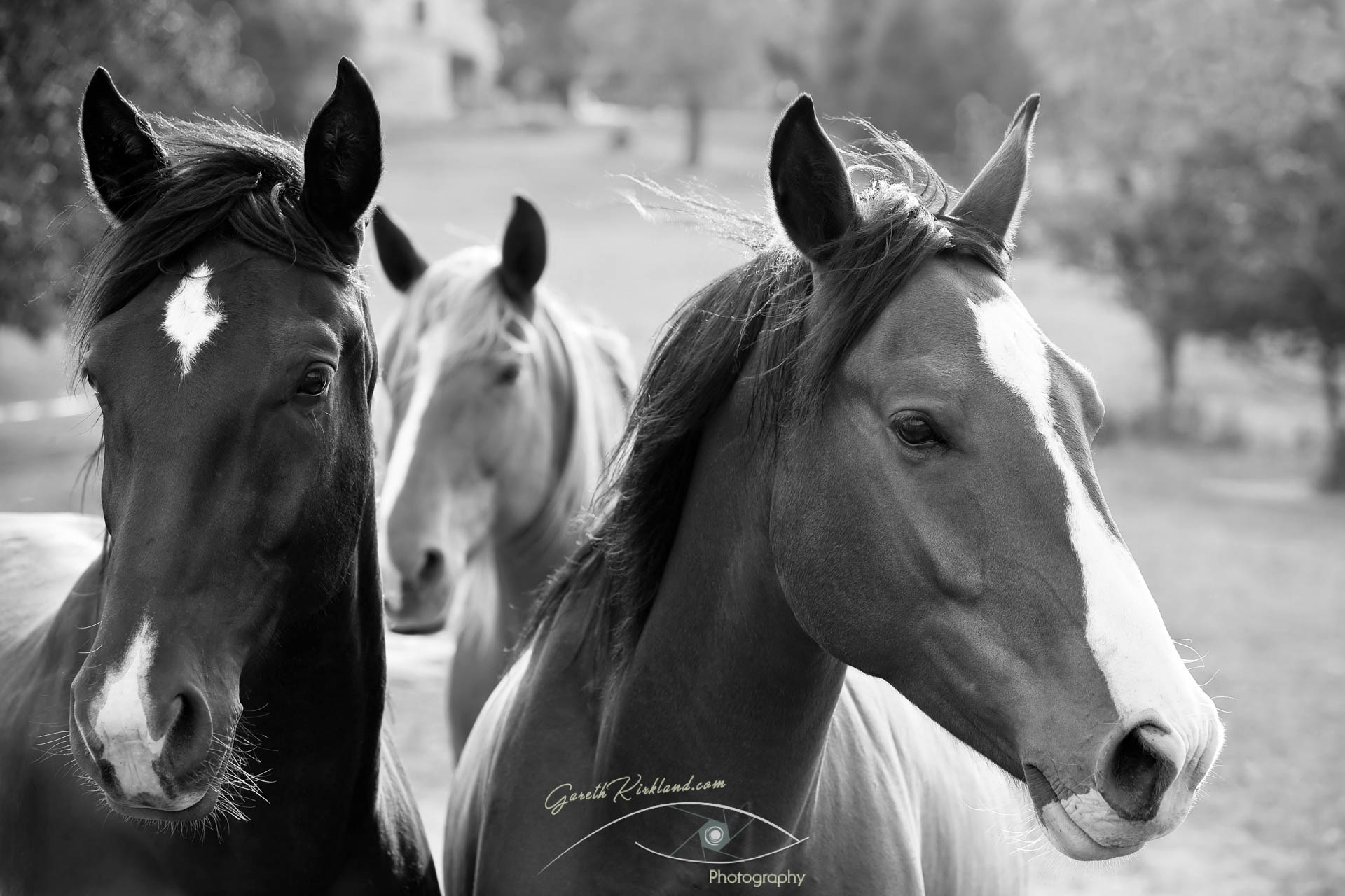 Three horses in black and white 006