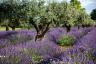 Olive Trees amounst Lavender Provence France-083